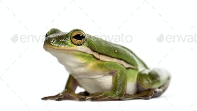 American green tree frog, isolated on white