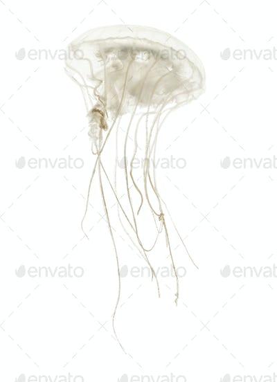 Disc jellyfish, Sanderia malayensis, swimming against white background