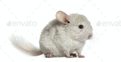 White chinhilla standing, isolated on white