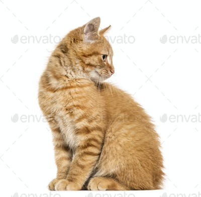 Ginger cat, sitting looking away, isolated on white