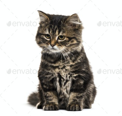 Stripped kitten mixed-breed cat sitting and looking down, isolated on white