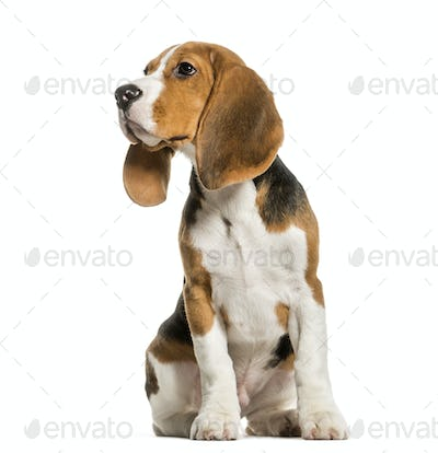Young Beagle sitting in studio looking away against white background