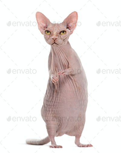 Angry hairless Sphinx cat with rat's body against white background