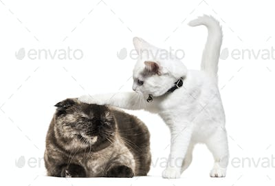 White kitten mixed-breed cat playing with an other cat, isolated on white