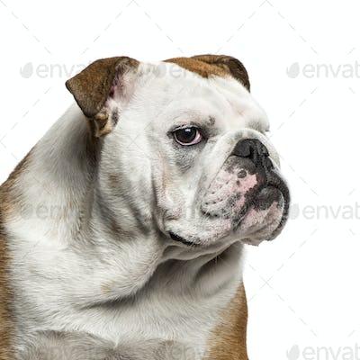 English Bulldog portrait against white background