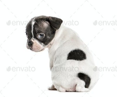 Boston terrier pup looking backwards, isolated on white