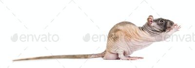 Rat grabbing something, isolated on white