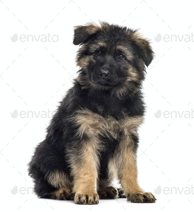 Belgian shepherd puppy sitting, isolated on white
