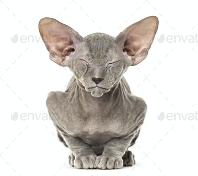 Young peterbald kitten, cat standing and facing the camera