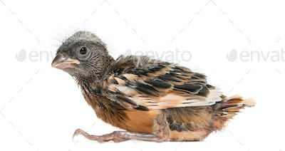 Baby canary, isolated on white