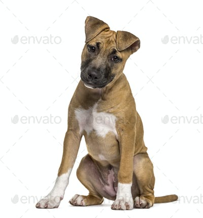 American Staffordshire Terrier puppy sitting, isolated on white