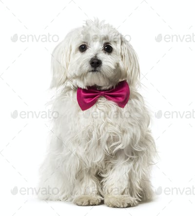 Maltese in bow tie against white background