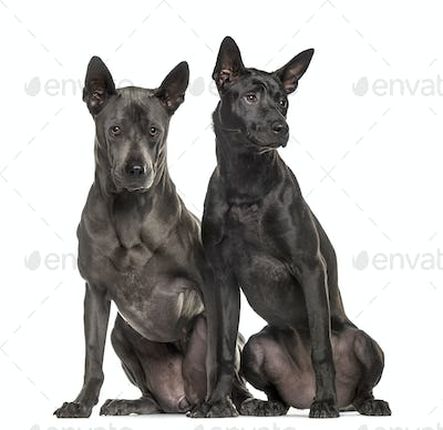 Rhodesian ridgeback sitting side by side, isolated on white