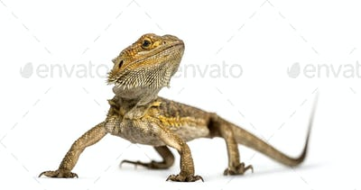 Bearded dragon standing, isolated on white