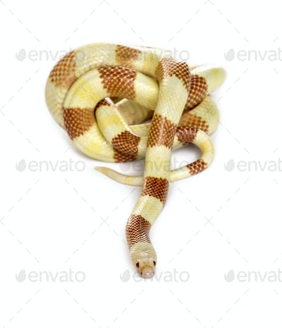 Yellowish snake rolling, isolated on white