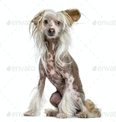 Shaggy, hairy,  Chinese crested dog, sitting isolated on white