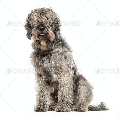 cross-breed dog sitting, 6 years old, isolated on white
