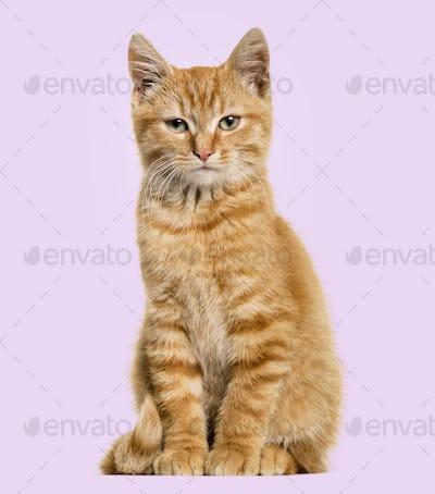 Ginger cat, sitting, purple background
