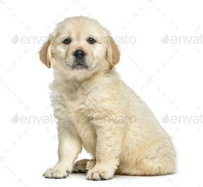 Retriever puppy sitting, isolated on white