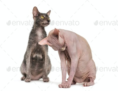 Lykoi cat, also called the Werewolf cat and grooming Sphynx Hairless cat against white background