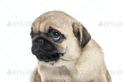 Close-up of a pug puppy, isolated on white