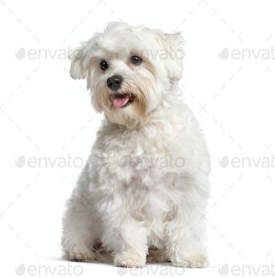 White Maltese dog, panting and sitting, isolated on white