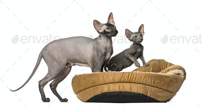 naked cat, Peterbald in a pet basket