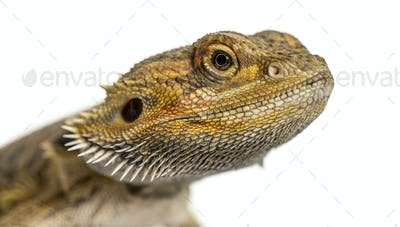 Close-up of a bearded dragon, isolated on white
