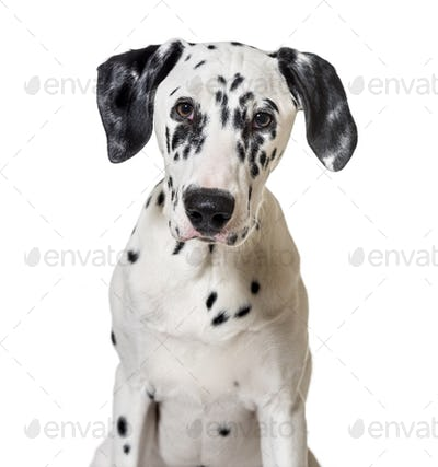 portrait of a dalmatian dog puppy (5 months old)