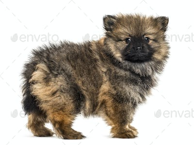 German spitz puppy standing, isolated on white
