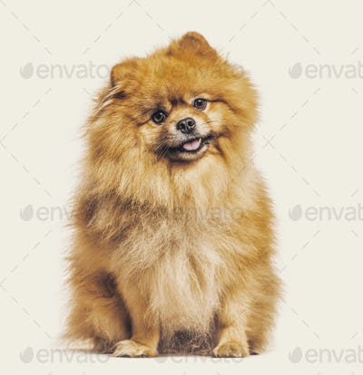 Spitz dog sitting against beige background