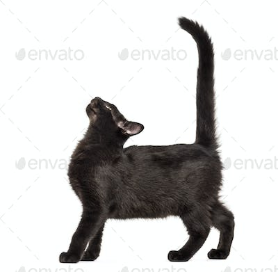 Mixed-breed black cat looking up against black background