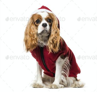 Cavalier King Charles Spaniel in Santa dog coat against white background