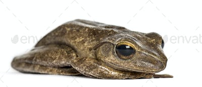 Common frog lying, isolated on white