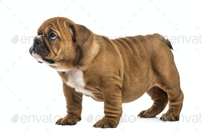 Guilty english bulldog puppy, isolated on white