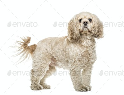 American Cocker Spaniel standing, 3 years old, isolated on white