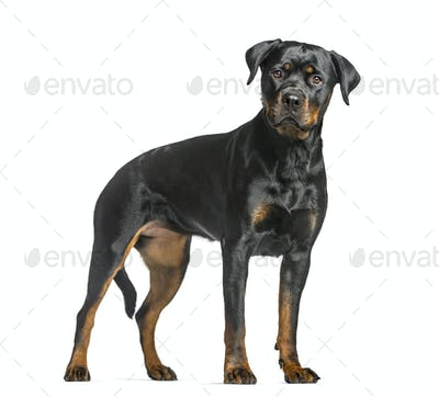 rottweiler dog, guard dog standing and looking at the camera, isolated on white
