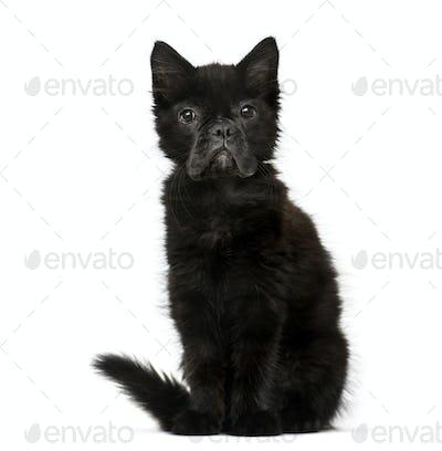 Black kitten with French Bulldog face against white background