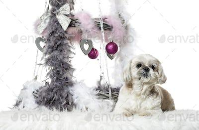 Shih Tzu next to Christmas decoration against white background