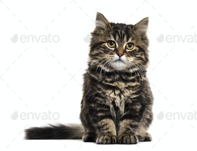 Stripped kitten mixed-breed cat sitting and looking at the camera, isolated on white