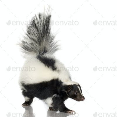 Striped Skunk - Mephitis mephitis