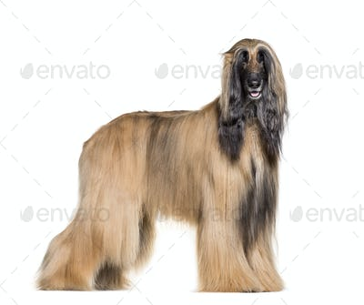 Afghan hound standing against white background