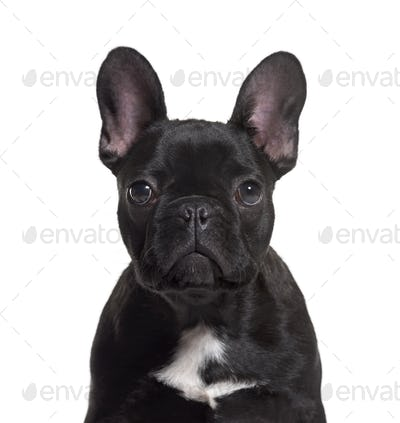 French Bulldog, 4 months old, against white background