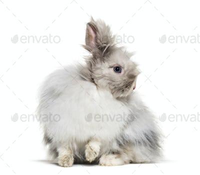 Angora rabbit, sitting against white background