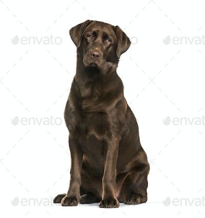 Labrador Retriever dog, 8 months old, sitting against white background