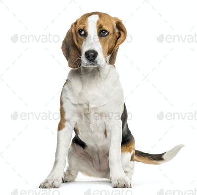 Beagle dog sitting against white background