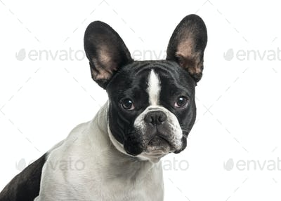 French bulldog in close up against white background