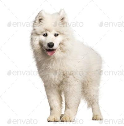 Samoyed puppy standing against white background