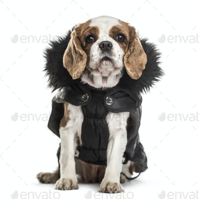 Cavalier King Charles dog, 3 years old, sitting against white background