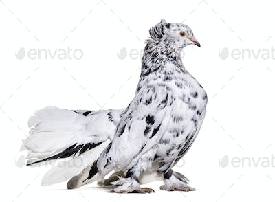 English Fantail pigeon standing against white background